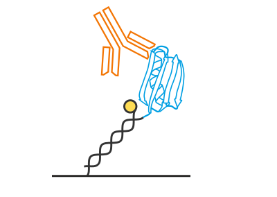 Characterization of a high-affinity anti-EPO antibody