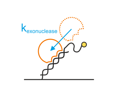 Real-time measurements of DNA exonucleases